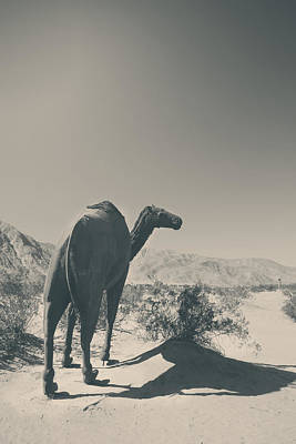 Camel Photograph - In The Hot Desert Sun by Laurie Search