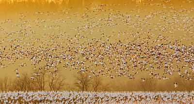 Geese Wall Art - Photograph - In The Magic Golden Would by David Hua