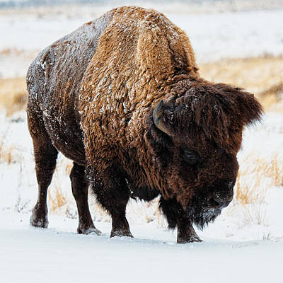 Photograph - In The Presence Of  Bison - 5 by OLena Art Brand