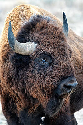 Art Print featuring the photograph Olena Art Bison The Mighty Beast Bison Das Machtige Tier North American Wildlife  by OLena Art Brand