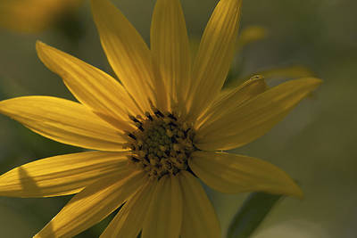 Photograph - In The Shadows - A Yellow Wildflower by Jane Eleanor Nicholas