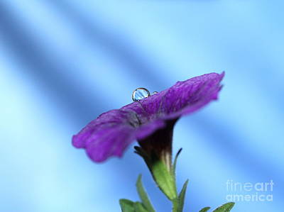 Petunia Photograph - In The Spotlight by Krissy Katsimbras