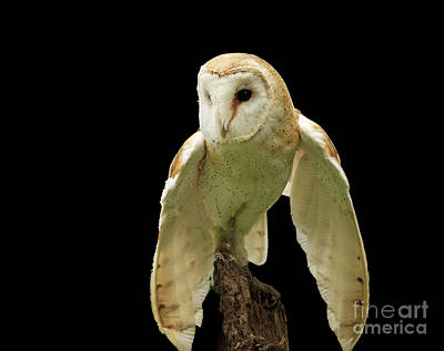 In The Still Of Night Barn Owl Art Print by Inspired Nature Photography Fine Art Photography