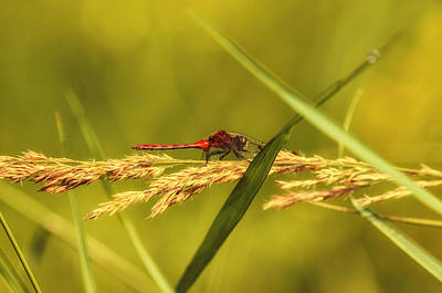 Dragonfly Photograph - In The Tall Grass by Susan Capuano