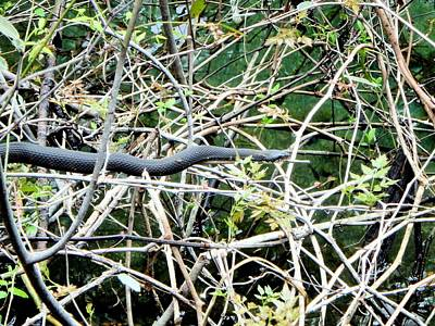 Photograph - In The Vines Banded Water Snake 1 by Sheri McLeroy