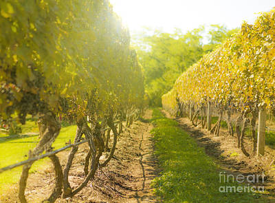 Wine Grapes Photograph - In The Vineyard by Diane Diederich