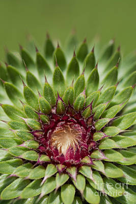 Photograph - In Thistle's Heart by Simona Ghidini