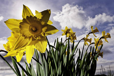 Puget Sound Photograph - In Your Face - Daffodil In Bellingham by Paul Conrad