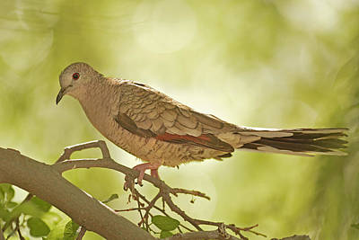 Photograph - Inca Dove by Alan Lenk
