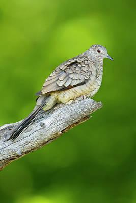 Inca Photograph - Inca Dove (columbina Inca by Larry Ditto