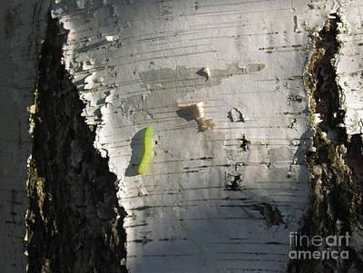 Birch Bark Photograph - Inchworm On Paper Birch by Anna Lisa Yoder