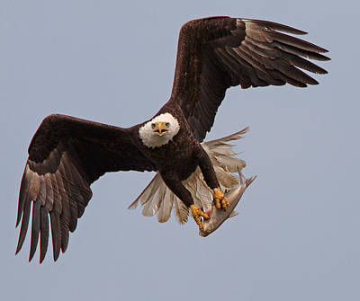 Bif Photograph - Incoming Eagle by Martin Radigan