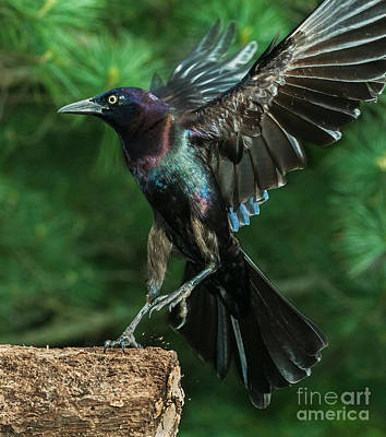 Incoming Grackle Art Print by Jim Moore