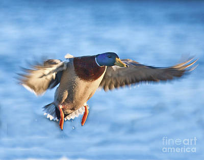 Photograph - Incoming Mallard by Ronald Lutz