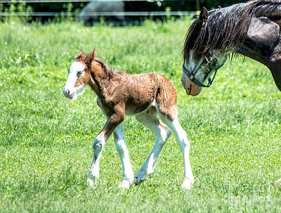 Photograph - Independant Foal by Cheryl Baxter