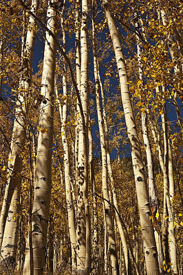 Photograph - Independence Pass Aspen by Lee Kirchhevel