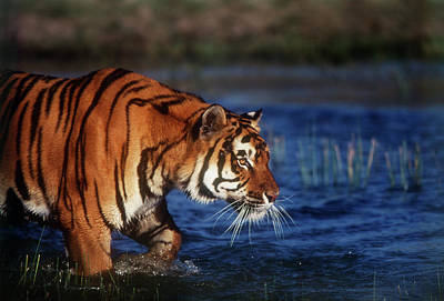 Large Format Photograph - India, Bengal Tiger (panthera Tigris by Stuart Westmorland
