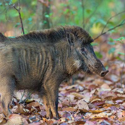 Boar Photograph - India Indian Boar (sus Scrofa Cristatus by Ralph H. Bendjebar