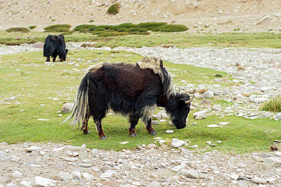 Yak Photograph - India, Jammu & Kashmir, Ladakh Two by Ellen Clark