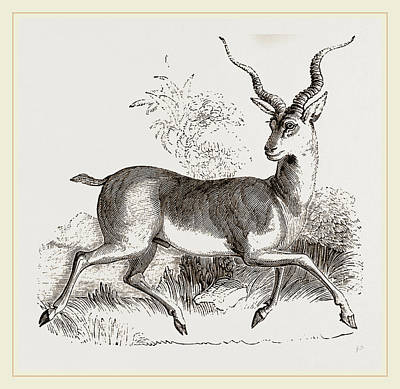 Antelope Drawing - Indian Antelope by Litz Collection