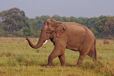Indian Asian Elephant, Communicating Art Print by Jagdeep Rajput