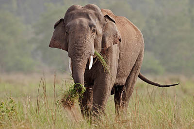 Indian Asian Elephant, Tusker, Feeding Art Print by Jagdeep Rajput