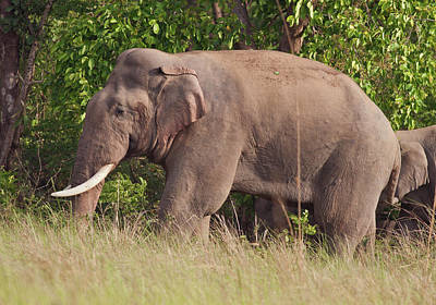 Indian Asian Elephant (tusker Art Print by Jagdeep Rajput