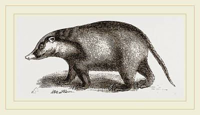 Badgers Drawing - Indian Badger by Litz Collection