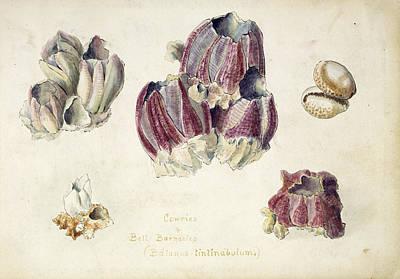 Barnacles Wall Art - Photograph - Indian Barnacles by Natural History Museum, London/science Photo Library