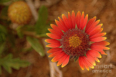 Photograph - Indian Blanket By The Road by Anjanette Douglas