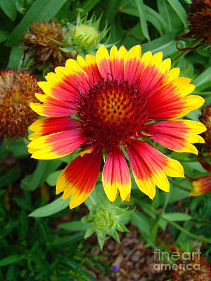 Indian Blanket Flower Art Print by Sue Melvin