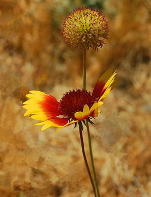 Photograph - Indian Blanket Flower by Tamyra Crossley