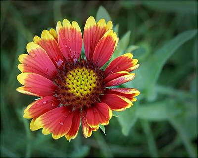 Gaillardia Photograph - Indian Blanket - Gaillardia Pulchella by Nikolyn McDonald