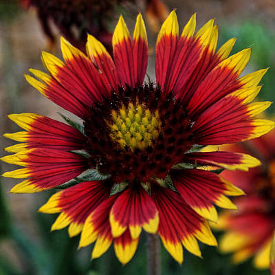 Photograph - Indian Blanket Square by Judy Vincent