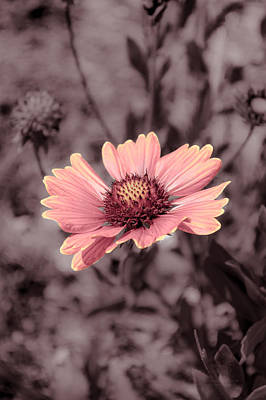 Photograph - Indian Blanket by Tex Wantsmore