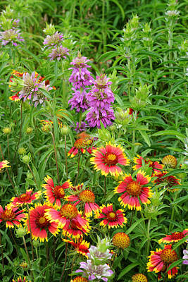 Horsemint Photograph - Indian Blankets And Lemon Horsemint by Lynn Bauer