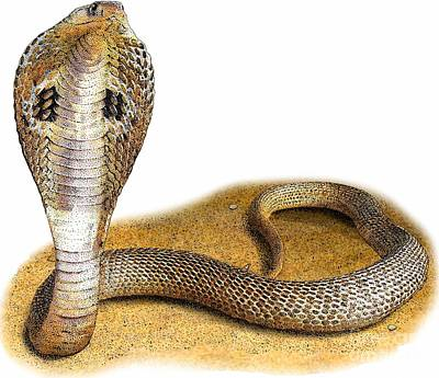 Indian Cobra Art Print by Roger Hall