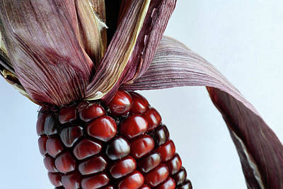 Indian Corn Wall Art - Photograph - Indian Corn by Michael Clutson/science Photo Library