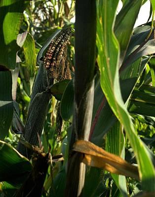 Indian Corn On The Stalk Original