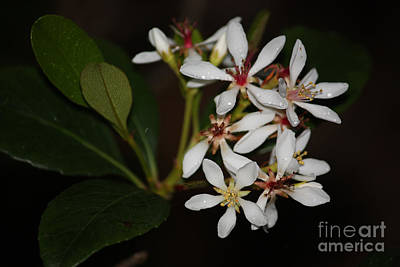 Photograph - Indian Hawthorn by Terri Mills