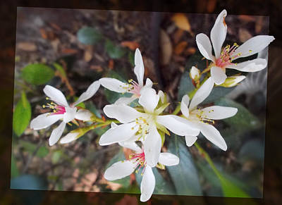 Photograph - Indian Hawthorne by Ginny Schmidt