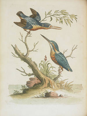 Kingfisher Wall Art - Photograph - Indian Kingfishers by British Library