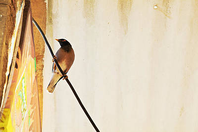 Indian Myna Comes To Dinner Print by Kantilal Patel