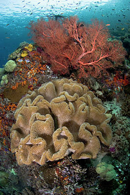 Gorgonian Photograph - Indian Ocean, Indonesia, Raja Ampat by Jaynes Gallery