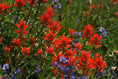 Photograph - Indian Paintbrush 1 by Robert Lozen