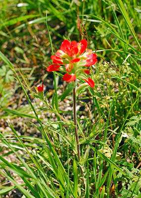 Photograph - Indian Paintbrush And Buds. Castilleja Indivisa by Connie Fox