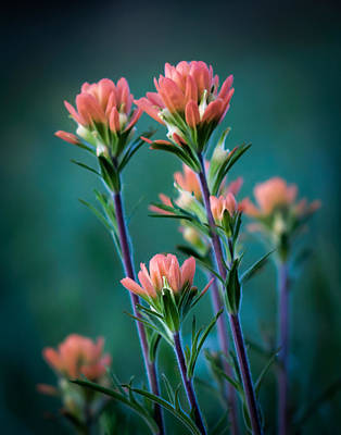 Indian Paintbrush At Dawn Art Print by James Barber