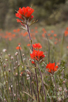 Photograph - Indian Paintbrush by Barbara McMahon