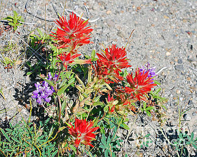 Photograph - Indian Paintbrush. C. Affinis. Near Mount St. Helens by Connie Fox