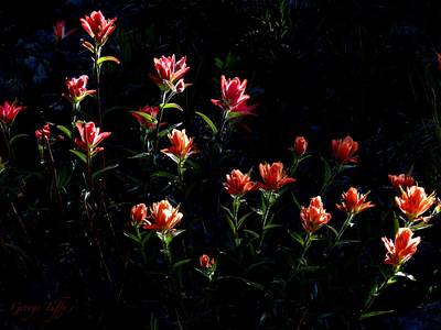 Indian Paintbrush Evening Light Art Print